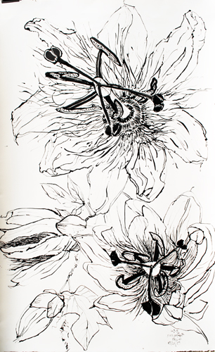 Passion flower drawing passion fruit flower drawings